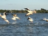 White Pelicans in Chokoloskee